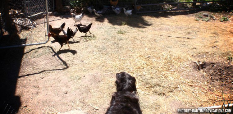 06042013_How-To-Herd-Chickens-Dog-Watching-chickens