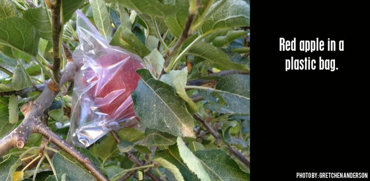 05302016_red-apple-in-a-plastic-bag