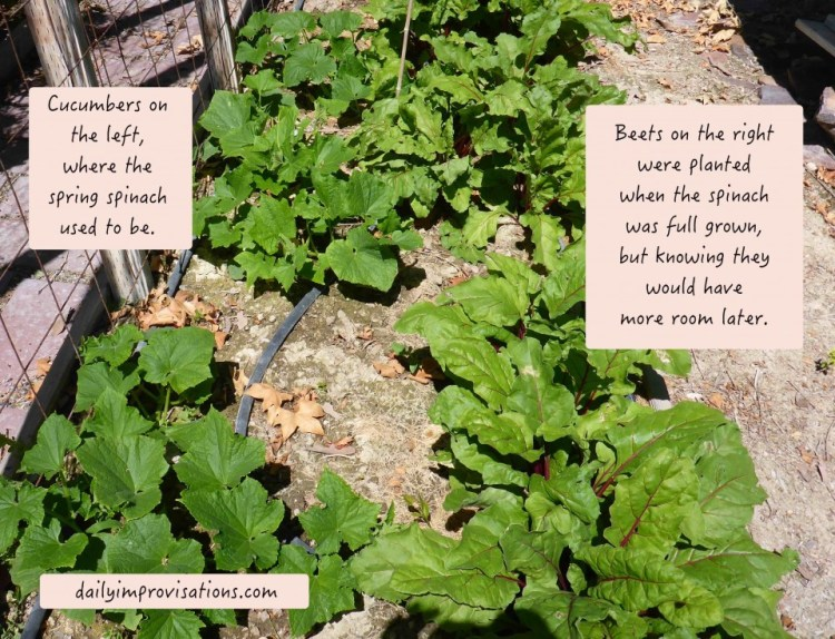 07262016_succession cucumbers and beets