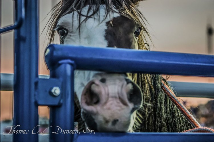 09022016_horse-looking-through-rodeo-gate
