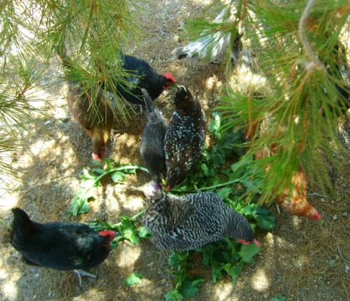 Last year, my backyard hens thoroughly enjoyed fresh greens grown from MPC's Chicken Salad Seed Mix.
