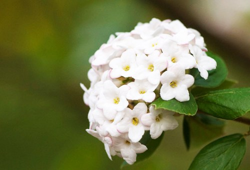 fleur blanche viburnum carlesii Diana