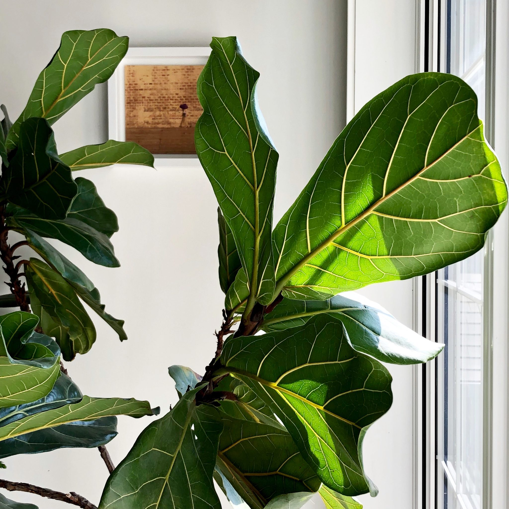Fiddle Leaf Fig   32 Essential Tips to Care for Your Ficus Lyrata ...