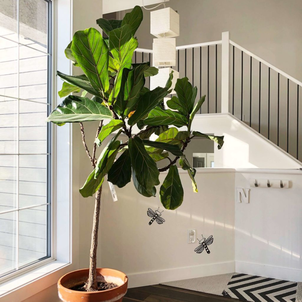 Tall Indoor Plants 7 Best Large Houseplants To Grow In Your Home My Tasteful Space