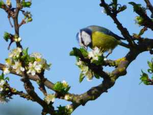 Blaumeise 15.04.15 an  Pflaumenblüten Foto Deichfuß