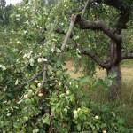 Sturmschäden Apfelbaugrundstück