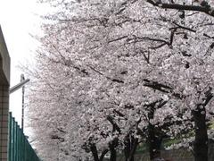 Cherry_16