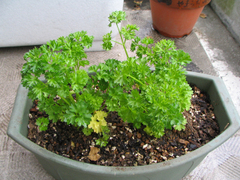 Parsley_01