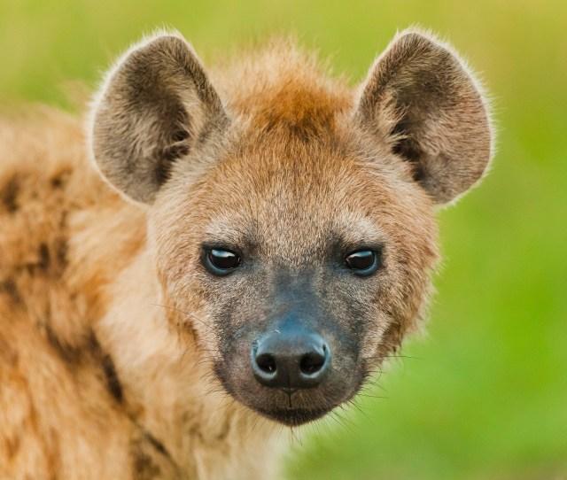 Bacteria Power Social Lives Of Hyenas