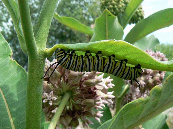 Monarch caterpillar on common milkweed, Asclepias syriaca. Photo by Flickr user Benimoto through a Creative Commons license.