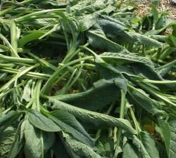 Minstens 10 Voordelen van Smeerwortel In De Tuin