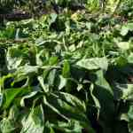 Hoe Smeerwortel Gebruiken als Mulch