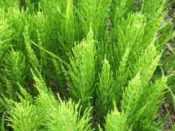 Heermoes (Equisetum arvense L. Equisetaceae)