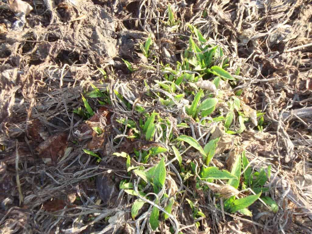 Smeerwortel Is een Kei in het Voorbereiden en Veroveren van Nieuw Territorium