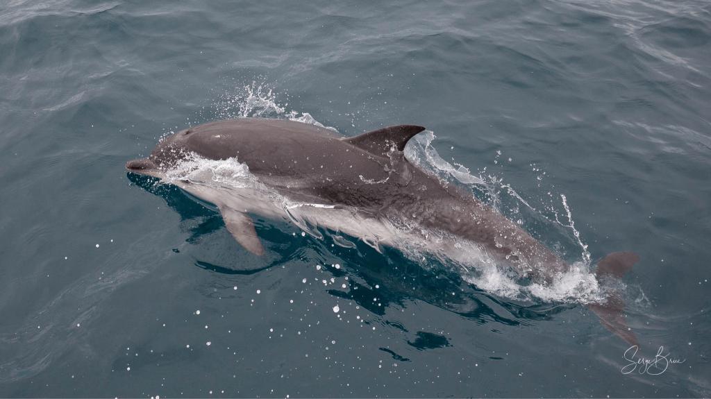 Le dauphin Bleu et blanc, les peuples de la mer
