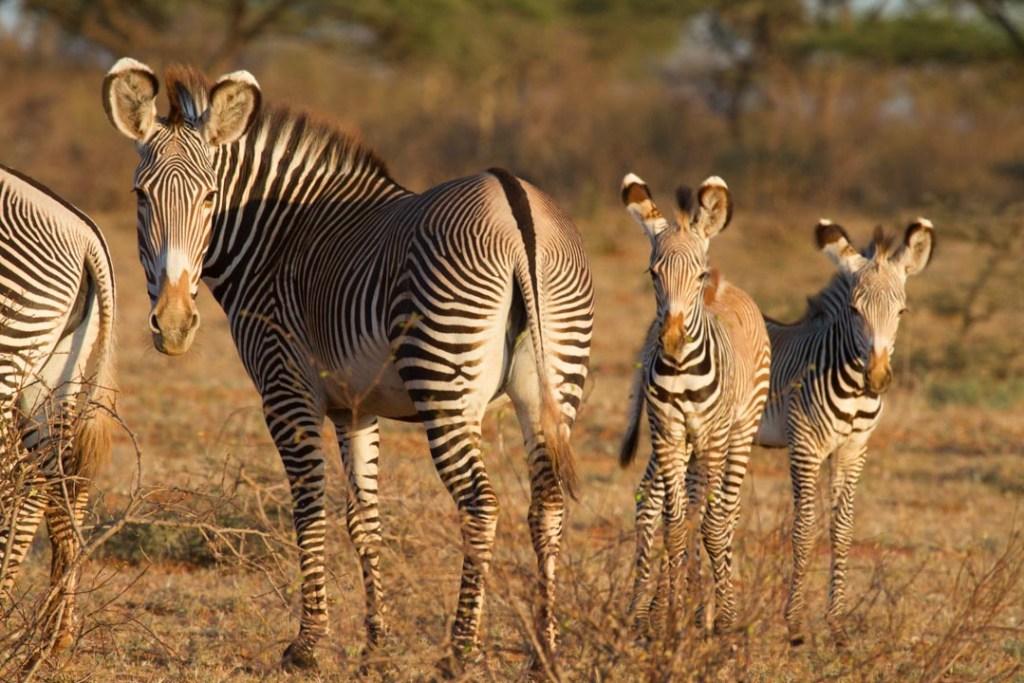 Grevy's Zebra, Northern Kenya   Photo by Nelson Guda © 2019