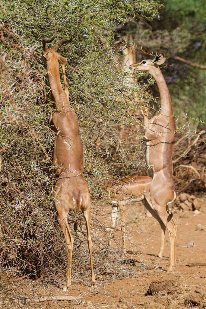 Gerenbok grazing in Northern Kenya   Photo by Nelson Guda © 2019