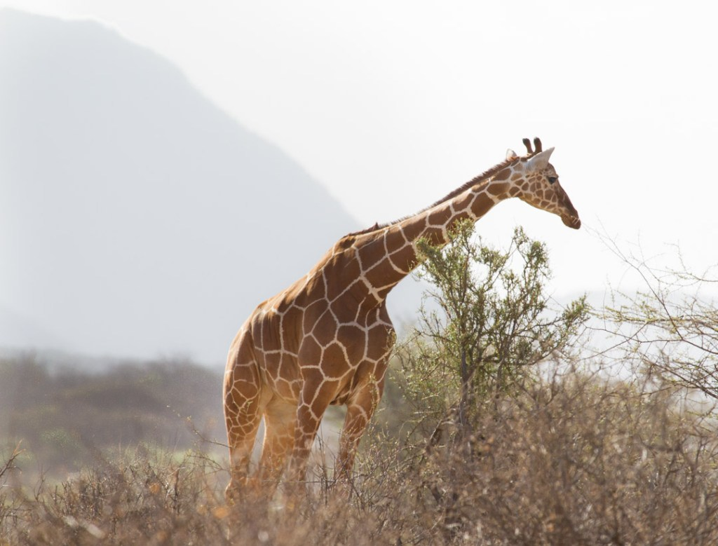 Giraffe, Northern Kenya   Photo by Nelson Guda © 2019
