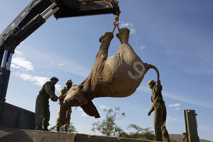 Sedated elephant being loaded onto a flatbed trailer | Photo by Nelson Guda