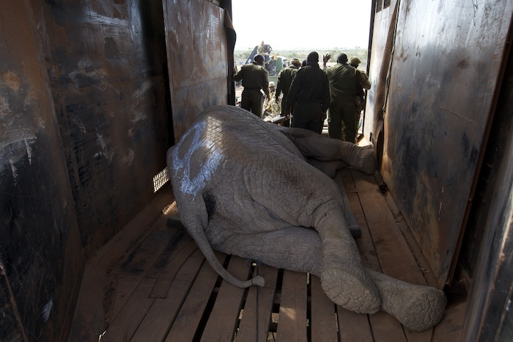 Large male elephant in the transport carrier | Photo by Nelson Guda