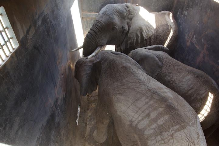 Elephants in the transport carrier, Kenya   Photo by Nelson Guda