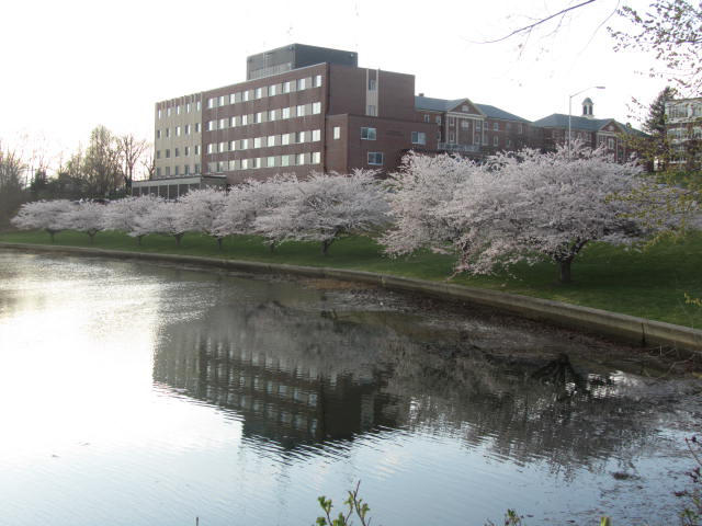Portsmouth NH cherry trees bloom right on schedule each April