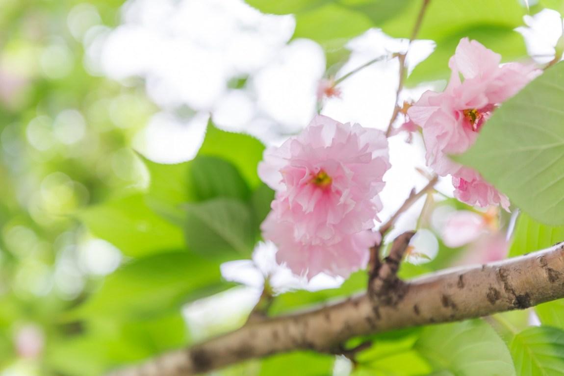 chine, voyage, sakura, blog, travel, visite china, photographie