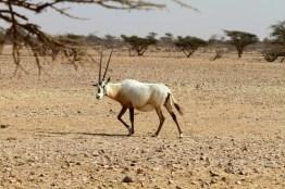 Weiße Antilope