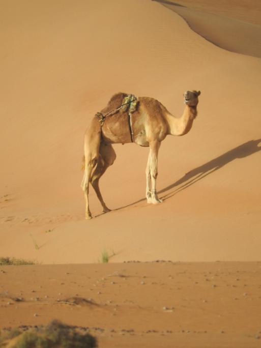 P. Roberts: Oman 2016 - Kamel beim Nomadic Desert Camp, 22.03.