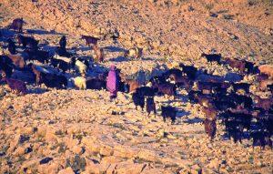 Oman: Ziegenherde