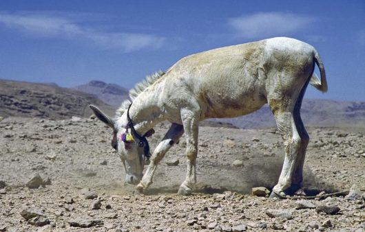 Esel in den Bergen der Sharqiyah