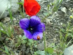 Klatschmohn und Glockenblume