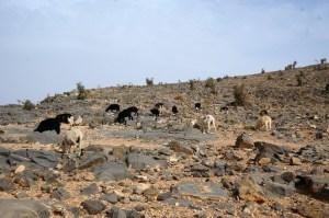 Ziegen auf dem Jabal Shams