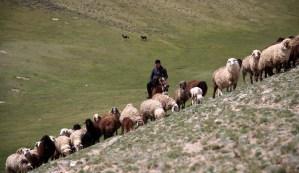 Schafherde im Gebirge von Usbekistan