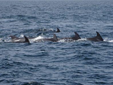 Delfine an der Küste von Muscat