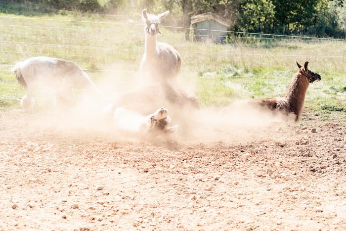 Eifel-Lamas beim Sandbad