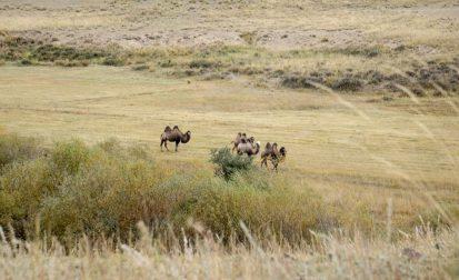 Kamele am Wegrand