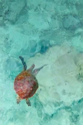 Heron Island - Schildkröte