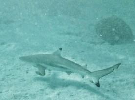 Heron Island - freundliche Haie