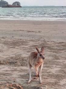 Kängurus am Strand 1