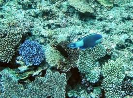 blauer Fisch mit blauer Koralle