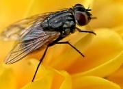 Πόσα μικρόβια μεταφέρουν οι μύγες;