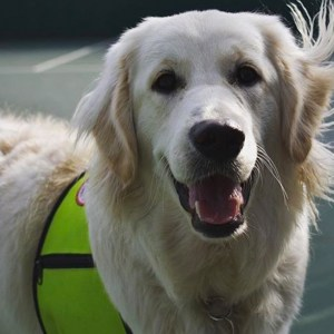 Roku, animal-assisted therapy dog with The Ohio State University's (OSU) Aphasia Initiative.