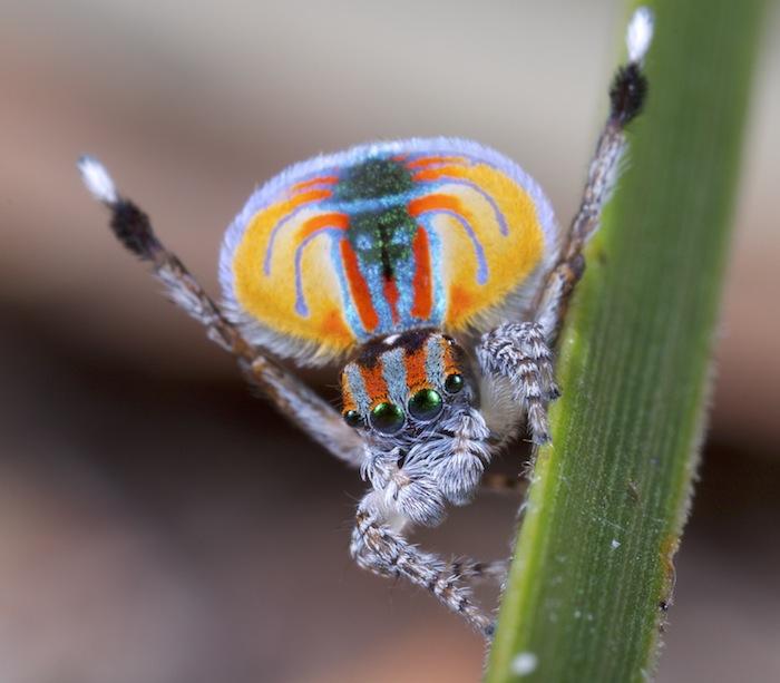 Além do coronavírus: imagem de uma aranha-pavão.