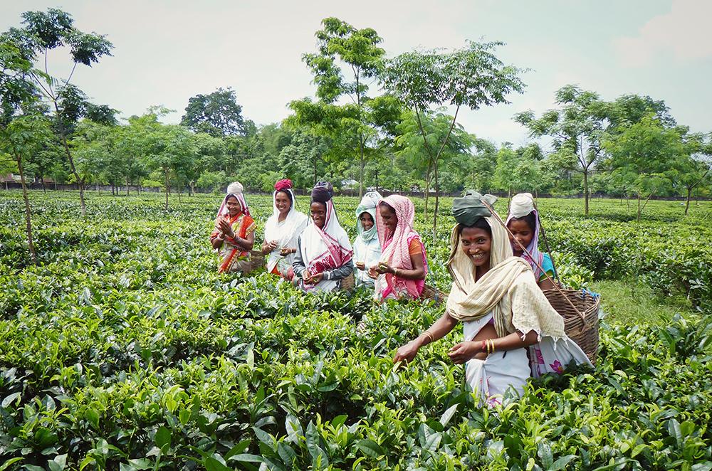 India Fair Trade Tea Estate