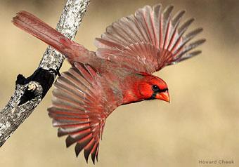 Bird Of The Week Northern Cardinal The National