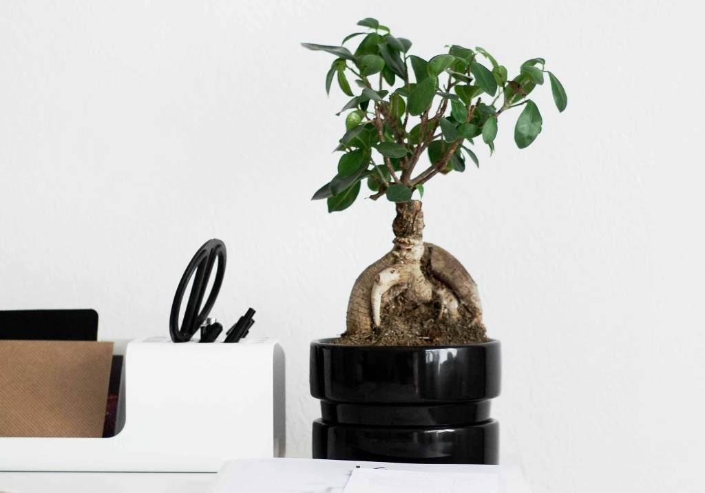 Bonsai na secretária