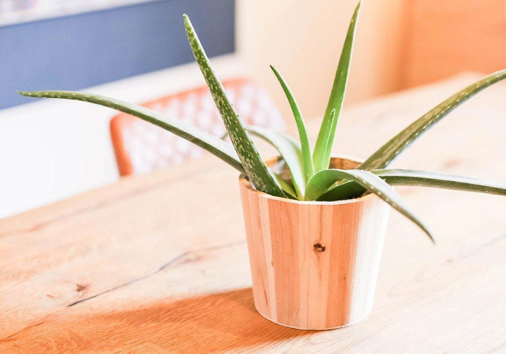 Planta de aloe vera na mesa