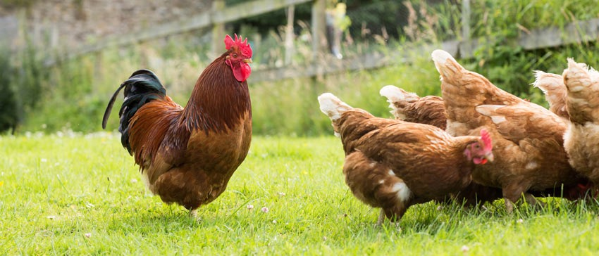 5 Amazing Facts: Do Roosters Lay Eggs?