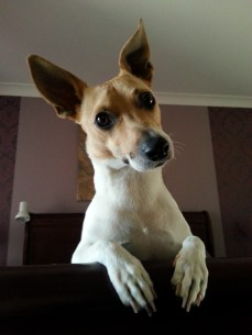 This is Buddy…Tenterfield Terrier, toy exterminator, cat intimidator, ball and water addict and Mummy's boy!! - Sharlene